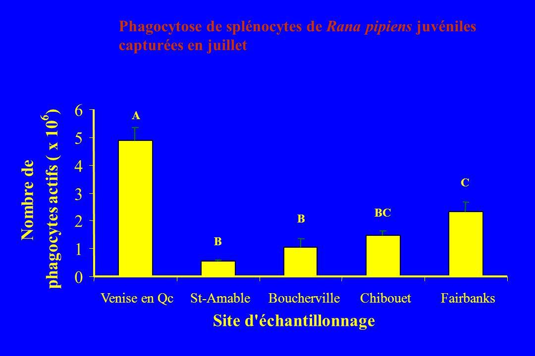 0 1 2 3 4 5 6 Venise en QcSt-AmableBouchervilleChibouetFairbanks Site d échantillonnage Nombre de phagocytes actifs ( x 10 6 ) A B B BC C Phagocytose de splénocytes de Rana pipiens juvéniles capturées en juillet