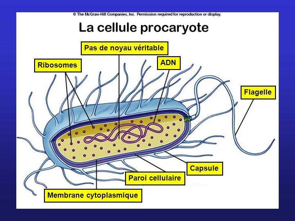 Pas de noyau véritable ADN Flagelle Membrane cytoplasmique Paroi cellulaire Capsule Ribosomes