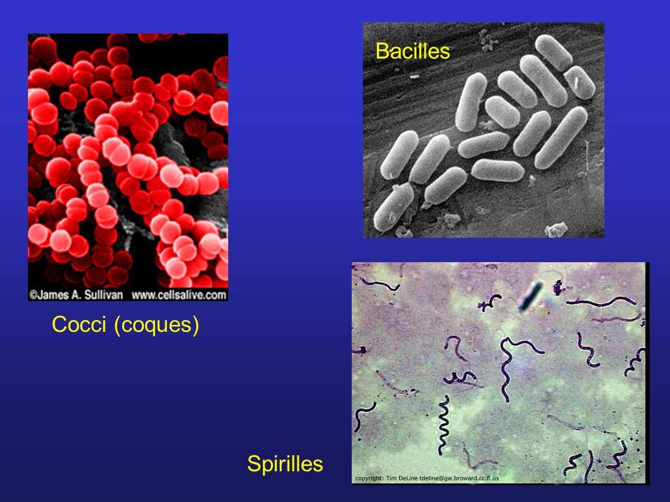 Cocci (coques) Bacilles Spirilles