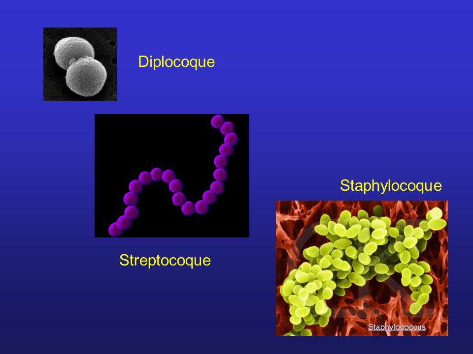 Diplocoque Streptocoque Staphylocoque