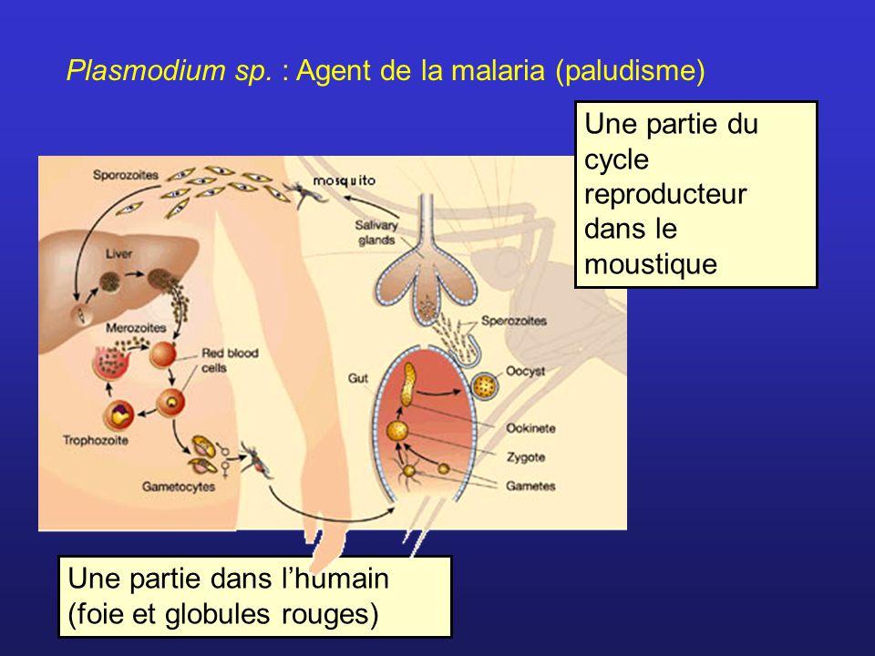 Plasmodium sp. : Agent de la malaria (paludisme) Une partie dans lhumain (foie et globules rouges) Une partie du cycle reproducteur dans le moustique