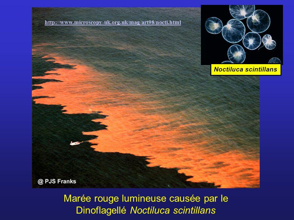 Marée rouge lumineuse causée par le Dinoflagellé Noctiluca scintillans Noctiluca scintillans http://www.microscopy-uk.org.uk/mag/art98/nocti.html