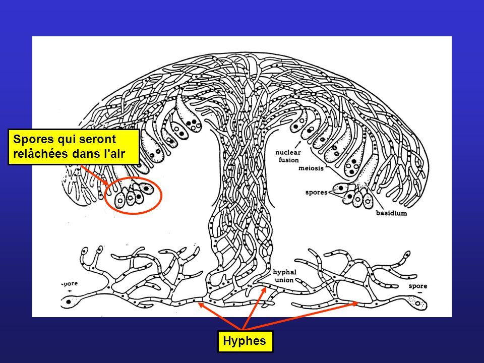 Hyphes Spores qui seront relâchées dans l'air