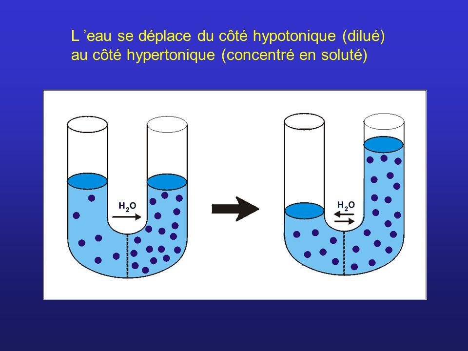 L eau se déplace du côté hypotonique (dilué) au côté hypertonique (concentré en soluté)