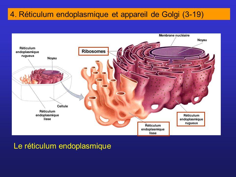4. Réticulum endoplasmique et appareil de Golgi (3-19) Le réticulum endoplasmique
