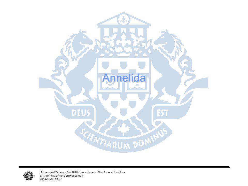 Université dOttawa - Bio 2525 - Les animaux: Structures et fonctions © Antoine Morin et Jon Houseman 2014-06-09 13:29 Annelida