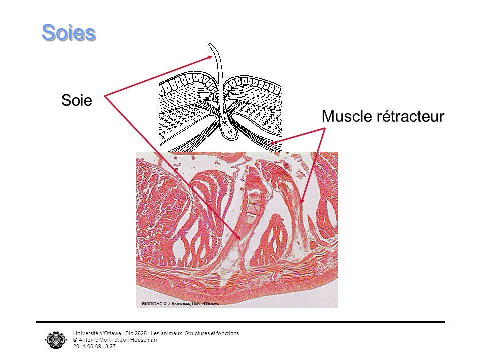 Université dOttawa - Bio 2525 - Les animaux: Structures et fonctions © Antoine Morin et Jon Houseman 2014-06-09 13:29 SoiesSoies Soie Muscle rétracteu