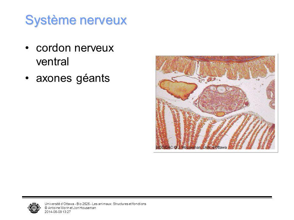 Université dOttawa - Bio 2525 - Les animaux: Structures et fonctions © Antoine Morin et Jon Houseman 2014-06-09 13:29 Système nerveux cordon nerveux v