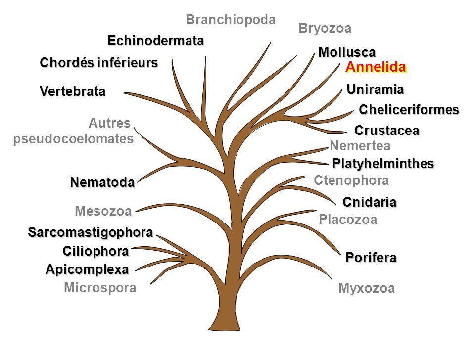 Myxozoa Uniramia Cheliceriformes Crustacea Annelida Mollusca Branchiopoda Chordés inférieurs Vertebrata Autres pseudocoelomates Nematoda Porifera Cten