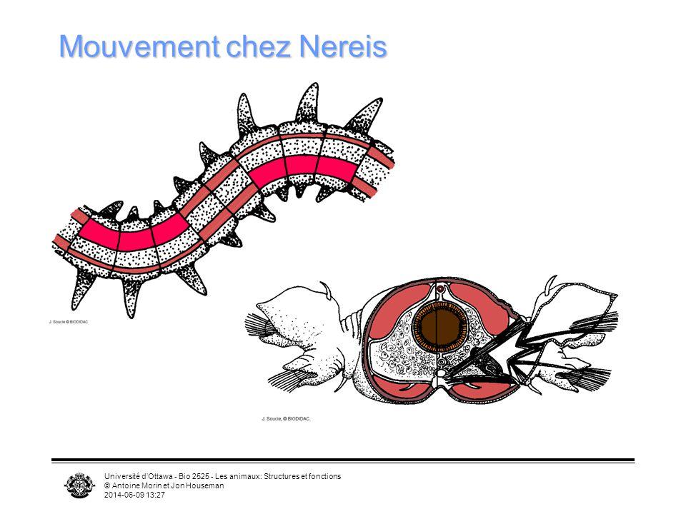 Université dOttawa - Bio 2525 - Les animaux: Structures et fonctions © Antoine Morin et Jon Houseman 2014-06-09 13:29 Mouvement chez Nereis