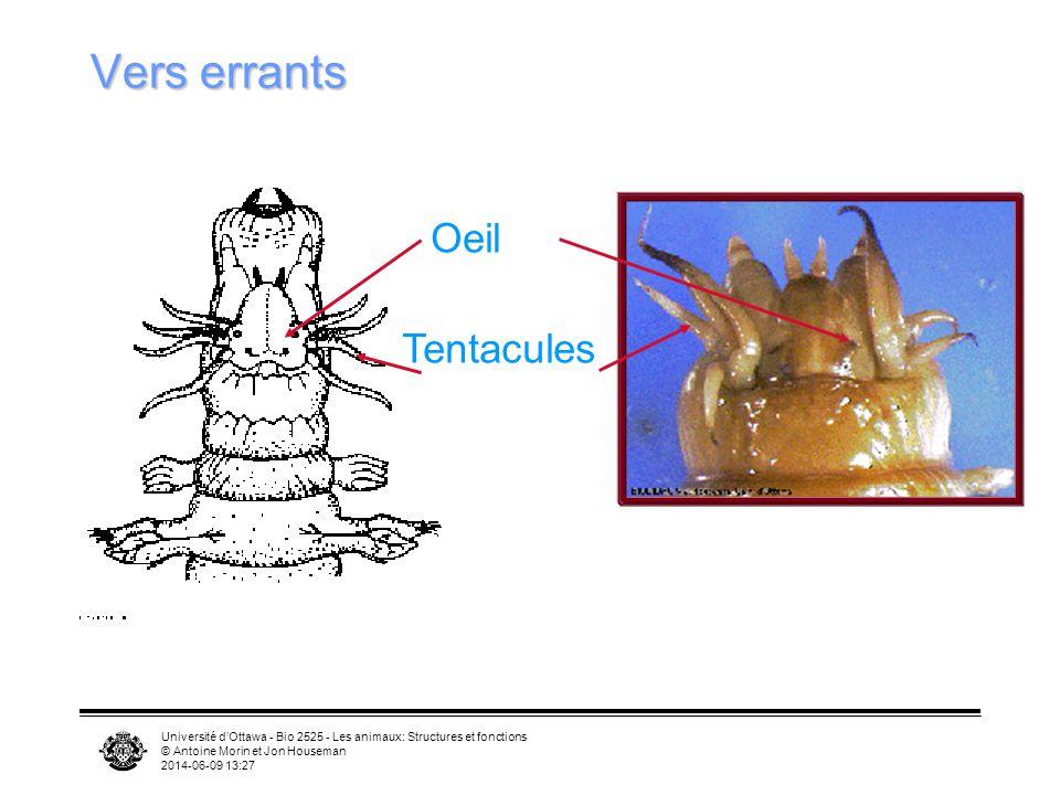Université dOttawa - Bio 2525 - Les animaux: Structures et fonctions © Antoine Morin et Jon Houseman 2014-06-09 13:29 Vers errants Oeil Tentacules