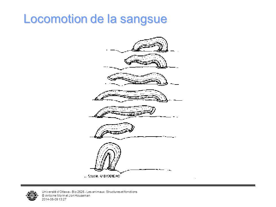 Université dOttawa - Bio 2525 - Les animaux: Structures et fonctions © Antoine Morin et Jon Houseman 2014-06-09 13:29 Locomotion de la sangsue