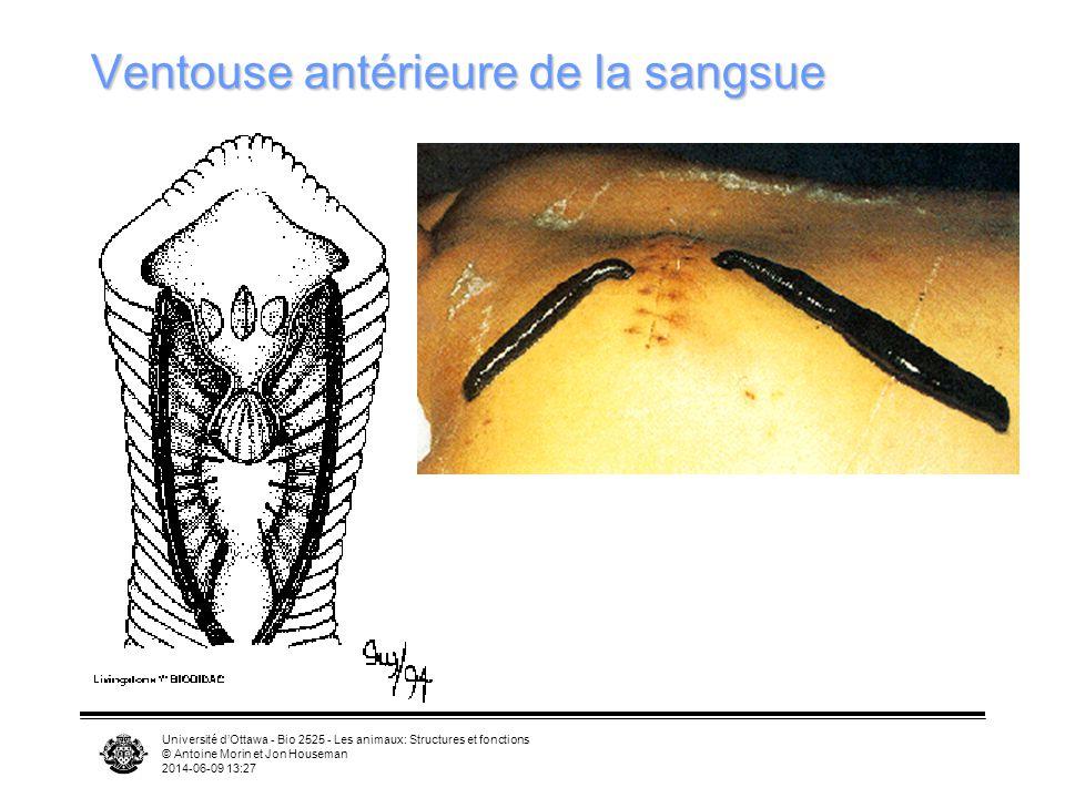 Université dOttawa - Bio 2525 - Les animaux: Structures et fonctions © Antoine Morin et Jon Houseman 2014-06-09 13:29 Ventouse antérieure de la sangsu