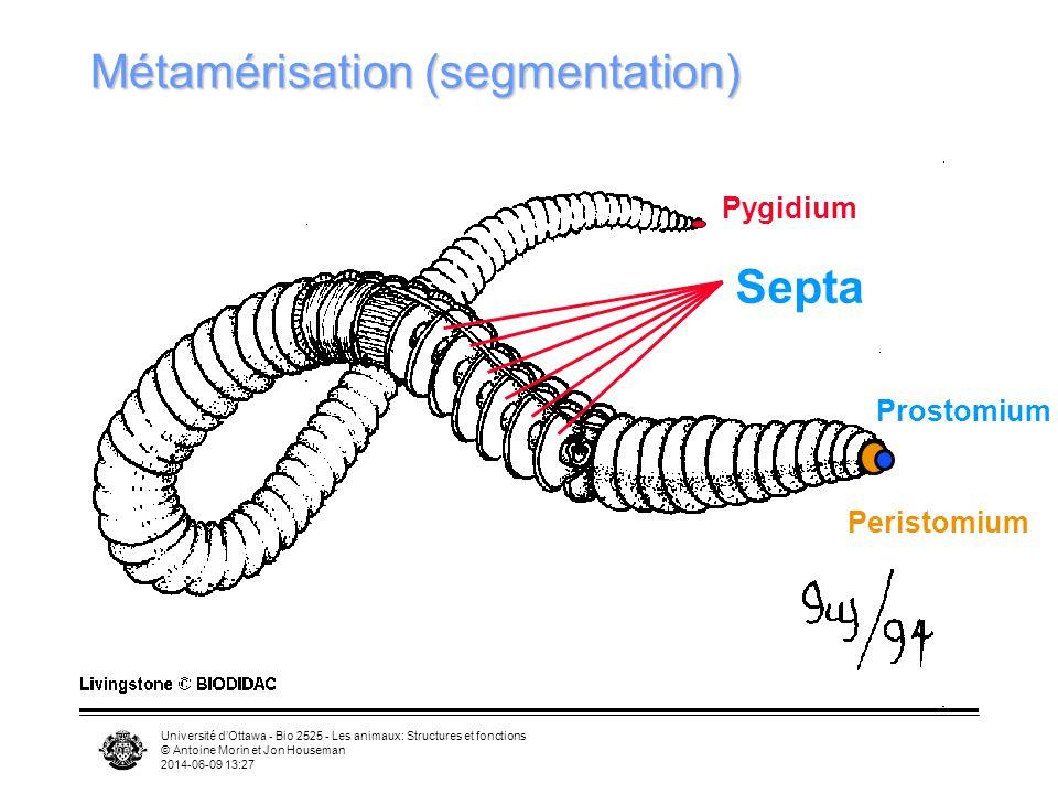Université dOttawa - Bio 2525 - Les animaux: Structures et fonctions © Antoine Morin et Jon Houseman 2014-06-09 13:29 Septa Métamérisation (segmentati