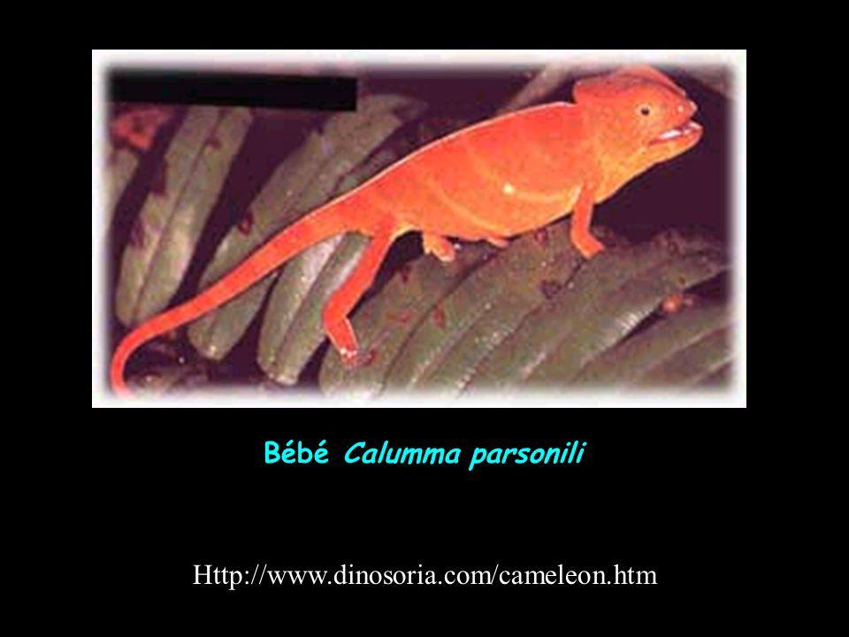 Http://www.dinosoria.com/cameleon.htm Bébé Calumma parsonili