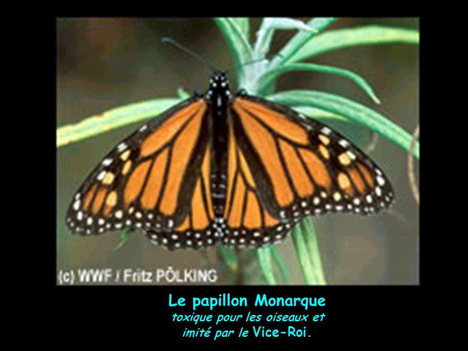 Le papillon Monarque toxique pour les oiseaux et imité par le Vice-Roi.
