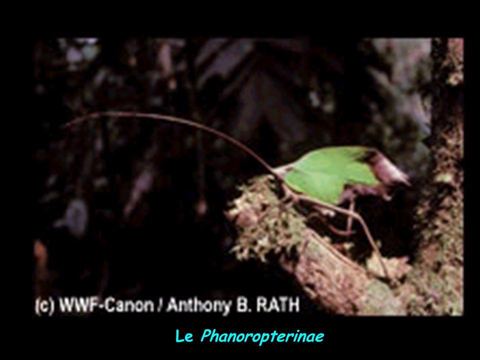 Le Phanoropterinae