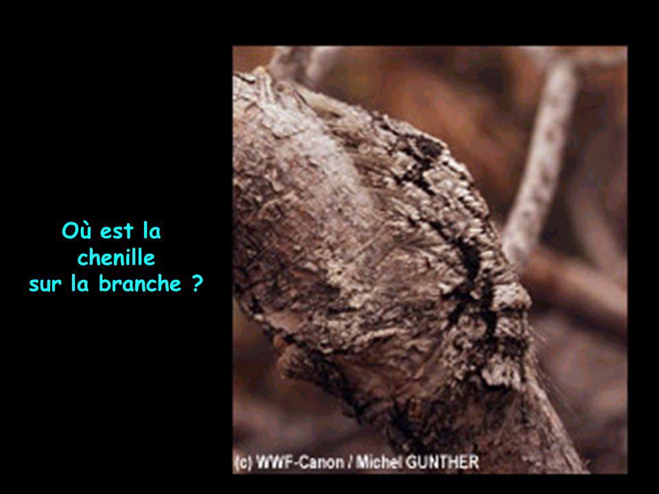 Où est la chenille sur la branche ?