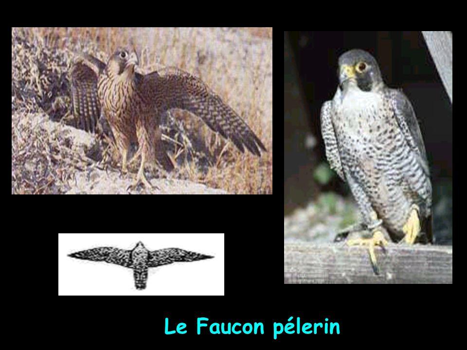 Le Faucon pélerin