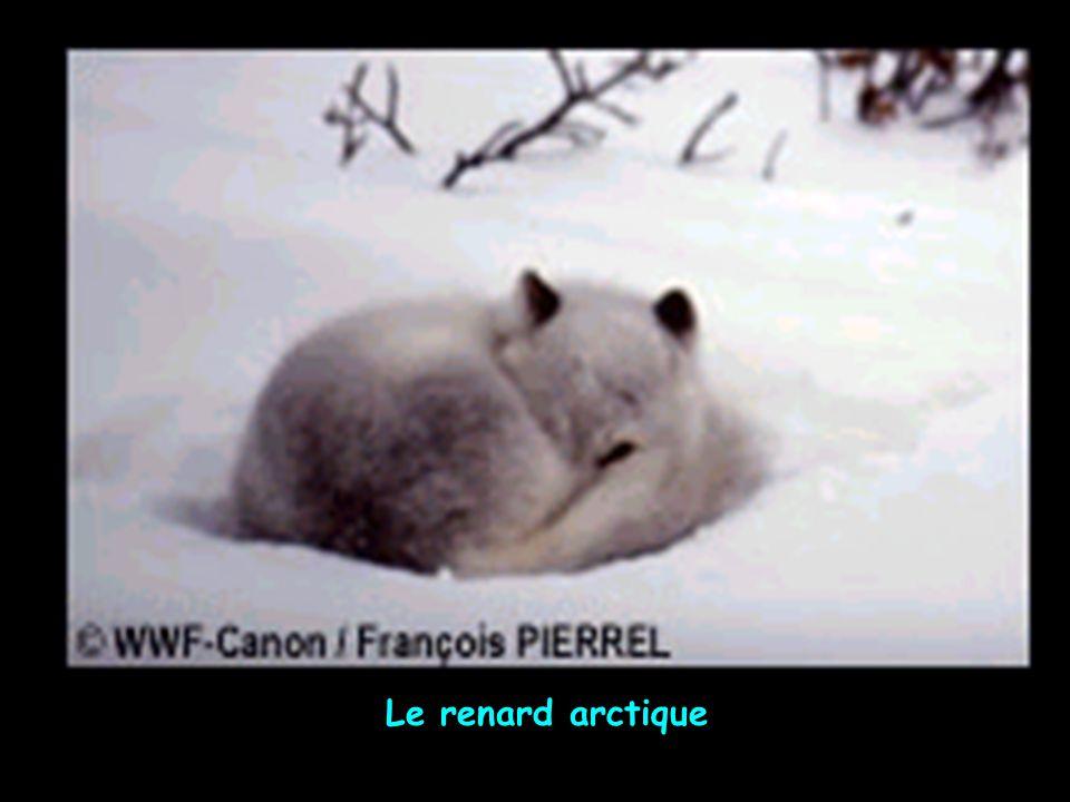 Le renard arctique