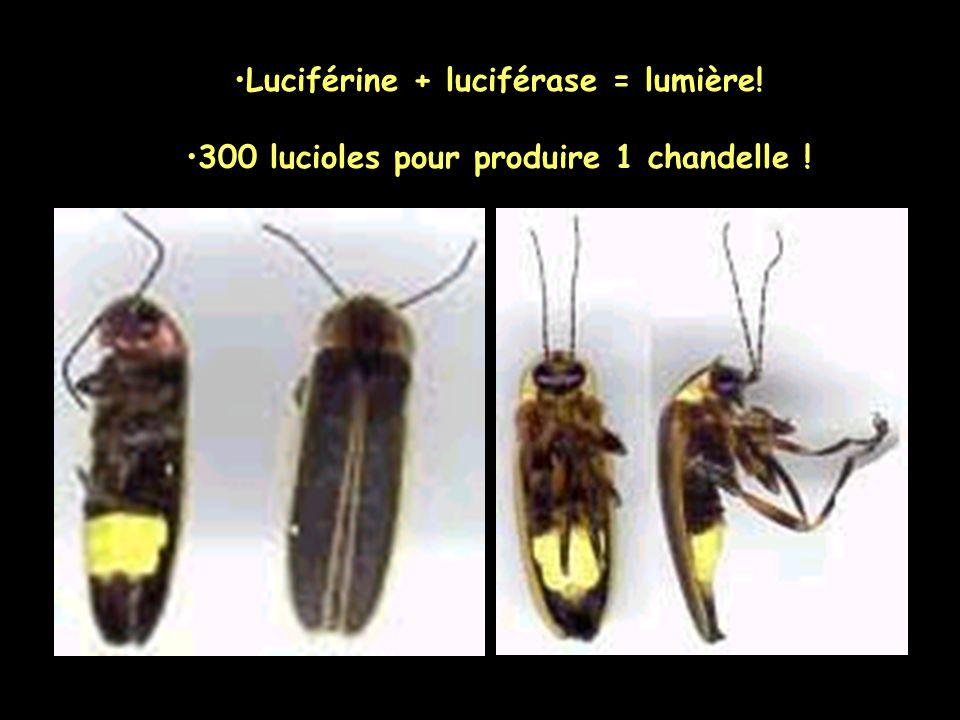 Luciférine + luciférase = lumière! 300 lucioles pour produire 1 chandelle !