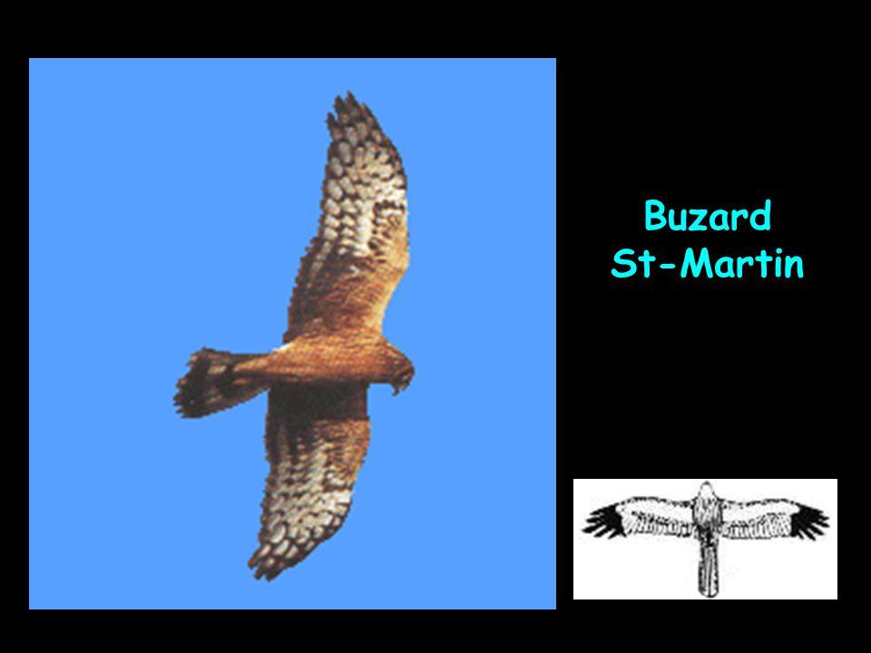 Buzard St-Martin