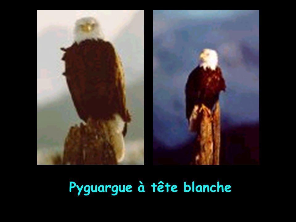 Pyguargue à tête blanche