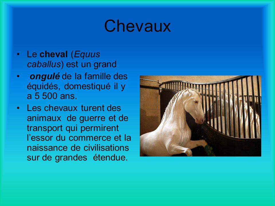 Chevaux Le cheval (Equus caballus) est un grand ongulé de la famille des équidés, domestiqué il y a 5 500 ans. Les chevaux turent des animaux de guerr