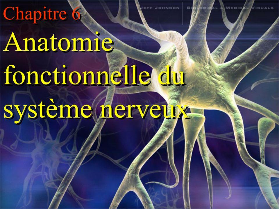 Chapitre 6 Anatomie fonctionnelle du système nerveux