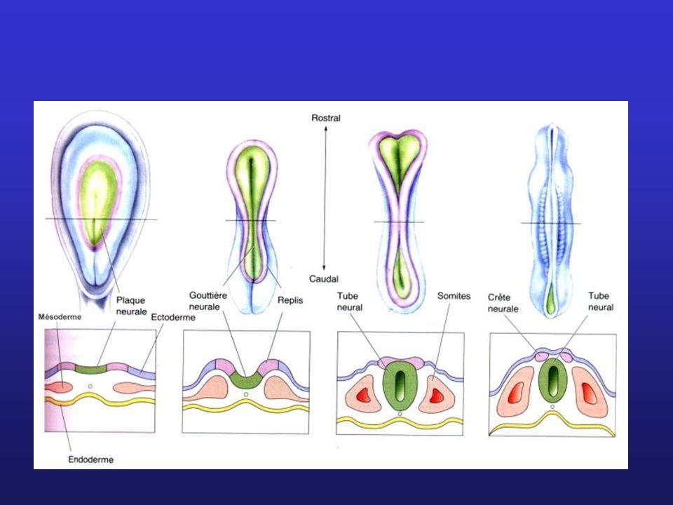 La barrière hémato-encéphalique Capillaires de l encéphale beaucoup plus étanches que ceux du reste du corps.