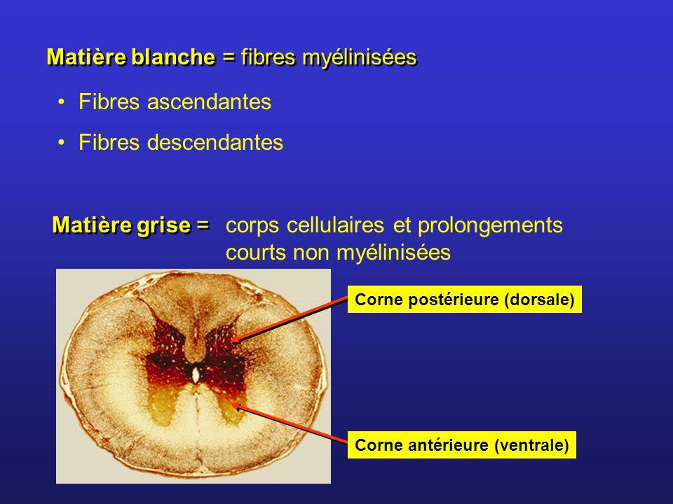 Matière blanche = fibres myélinisées Fibres ascendantes Fibres descendantes Matière grise = corps cellulaires et prolongements courts non myélinisées Corne postérieure (dorsale) Corne antérieure (ventrale)