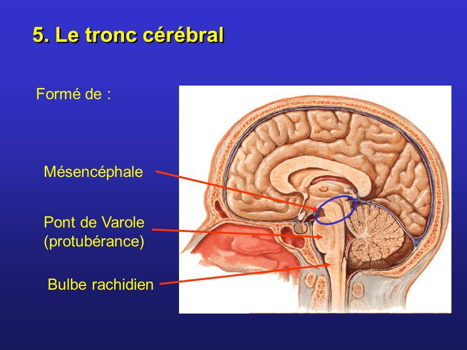 5. Le tronc cérébral Formé de : Mésencéphale Pont de Varole (protubérance) Bulbe rachidien