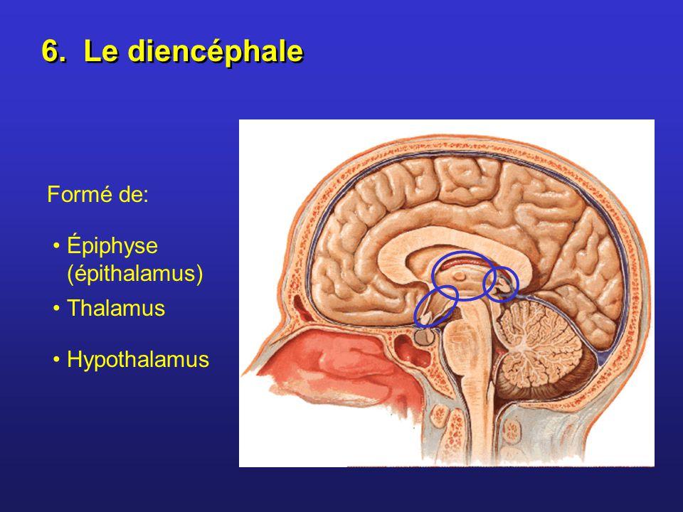 6. Le diencéphale Formé de: Épiphyse (épithalamus) Thalamus Hypothalamus
