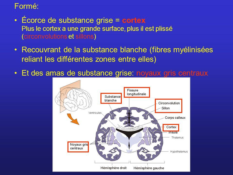 Formé: Écorce de substance grise = cortex Plus le cortex a une grande surface, plus il est plissé (circonvolutions et sillons) Recouvrant de la substance blanche (fibres myélinisées reliant les différentes zones entre elles) Et des amas de substance grise: noyaux gris centraux