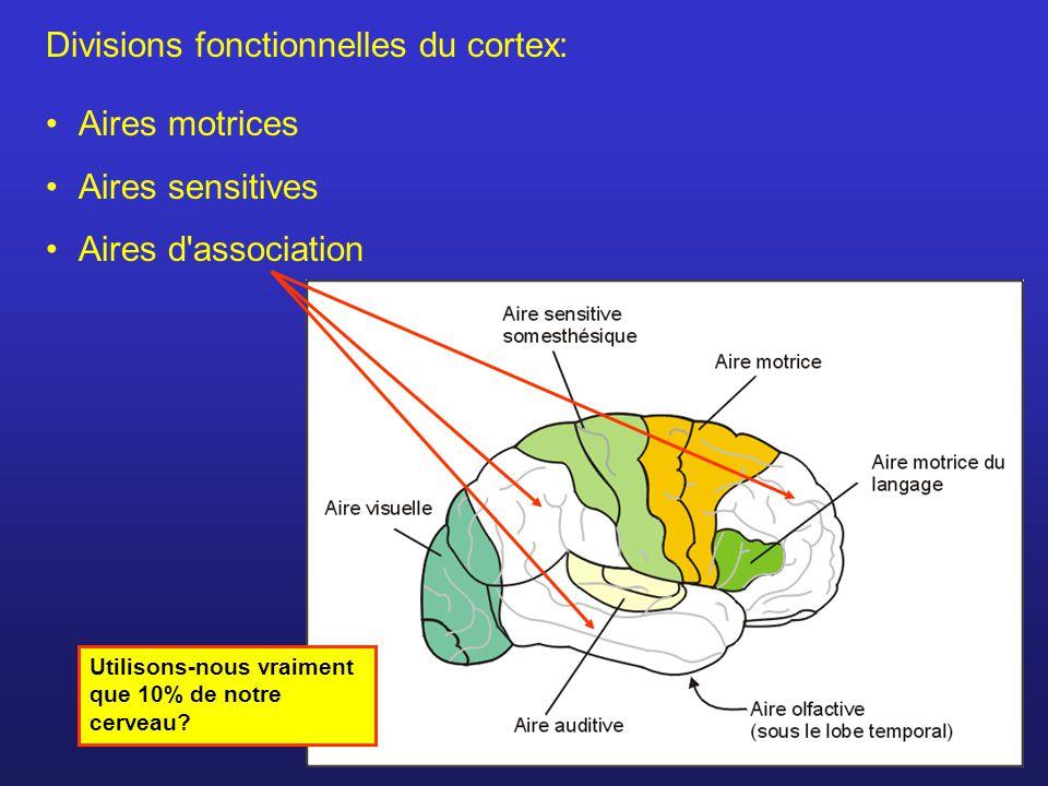 Divisions fonctionnelles du cortex: Aires motrices Aires sensitives Aires d association Utilisons-nous vraiment que 10% de notre cerveau?