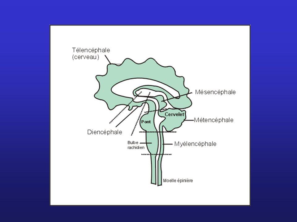7. Le télencéphale (cerveau) 2 hémisphères reliés par un ruban de matière blanche : corps calleux
