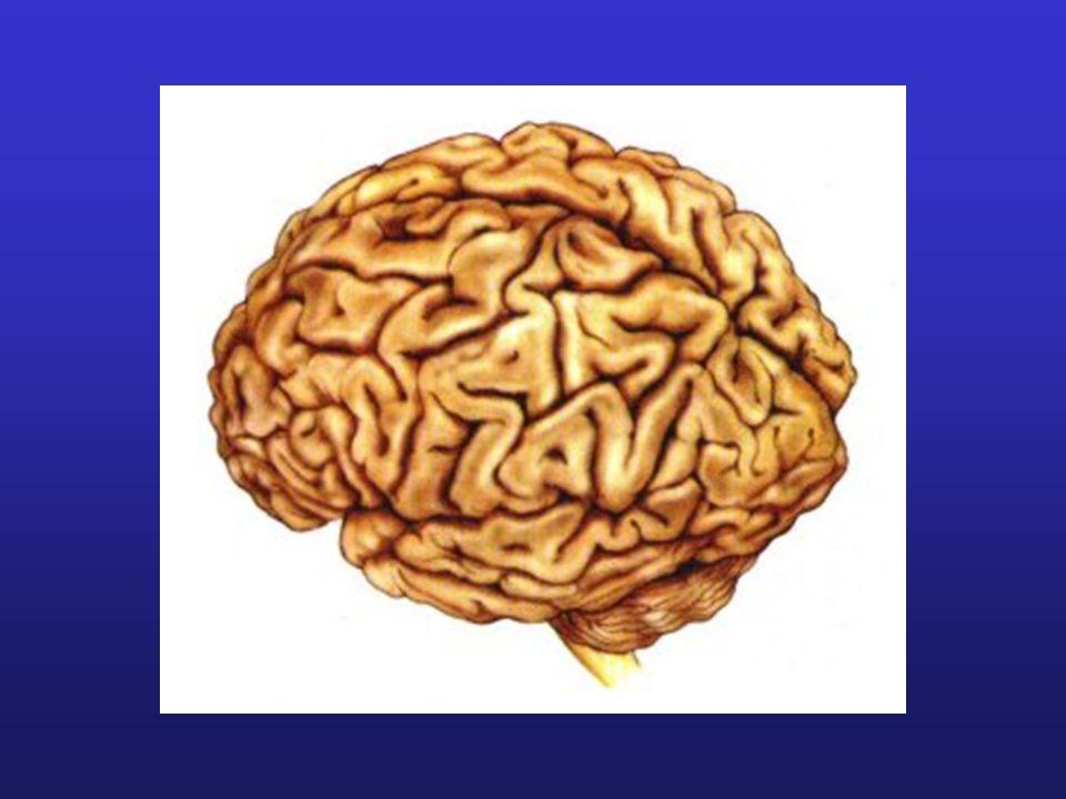 Cortex divisé en lobes: Lobe frontal Lobe pariétal Lobe occipital Lobe temporal
