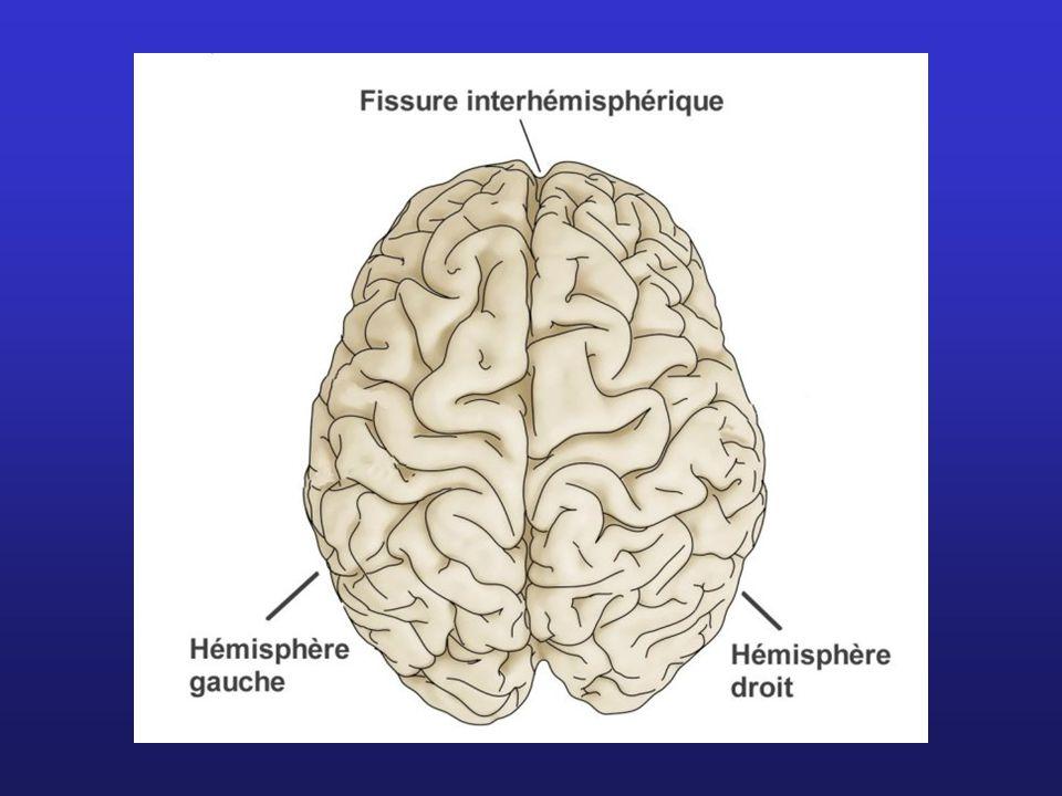 Certains noyaux du tronc = système modulateur diffus = ensemble de neurones dont les longs axones se ramifient en milliers de branches dans tout le cerveau Interviennent dans: Mouvements (neurones à dopamine) Régulation des états émotionnels (neurones à dopamine, à sérotonine et à adrénaline) Activation de toute l activité du cerveau: système réticulaire activateur