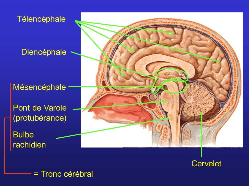 Le liquide céphalo-rachidien Remplit les ventricules et l espace sous-arachnoïdien Constitue un coussin liquide Permet l élimination des déchets rejetés par les cellules