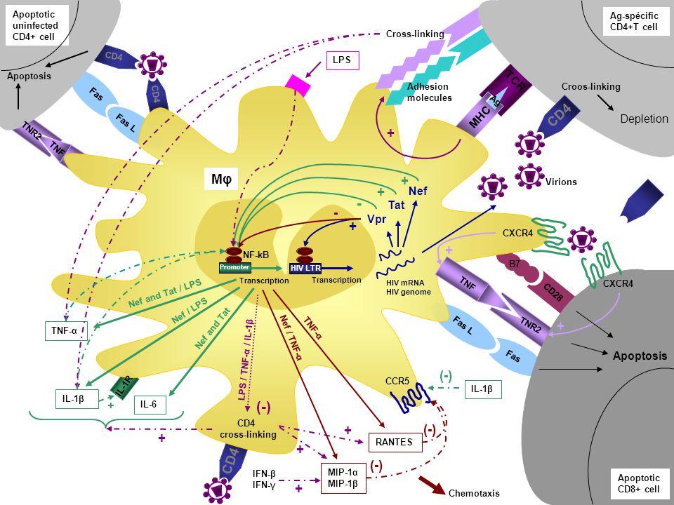 LES CYTOKINES PROINFLAMMATOIRES REGULENT LA REPLICATION DU HIV (suite) Au niveau de la transcription virale : 1- le TNF active les facteurs de transcriptions NF-kB, AP1 et ATF2 présent dans le promoteur du HIV résultant en une activation de la transcription virale.