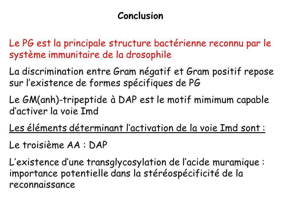 Conclusion Le PG est la principale structure bactérienne reconnu par le système immunitaire de la drosophile La discrimination entre Gram négatif et G