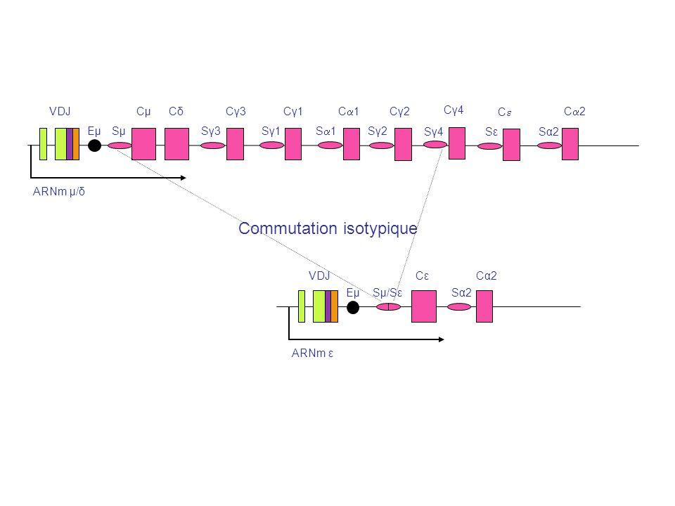 ARNm μ/δ VDJ EμEμSμSμ CμCμCδCδ Sγ3Sγ3 Cγ3Cγ3 Sγ1Sγ1 Cγ1Cγ1 S 1 C 1 Sγ2Sγ2 Cγ2Cγ2 SεSε C 2 Sα2Sα2 ARNm ε VDJ EμEμSμ/Sε CεCε Sα2Sα2 Cα2Cα2 Commutation i