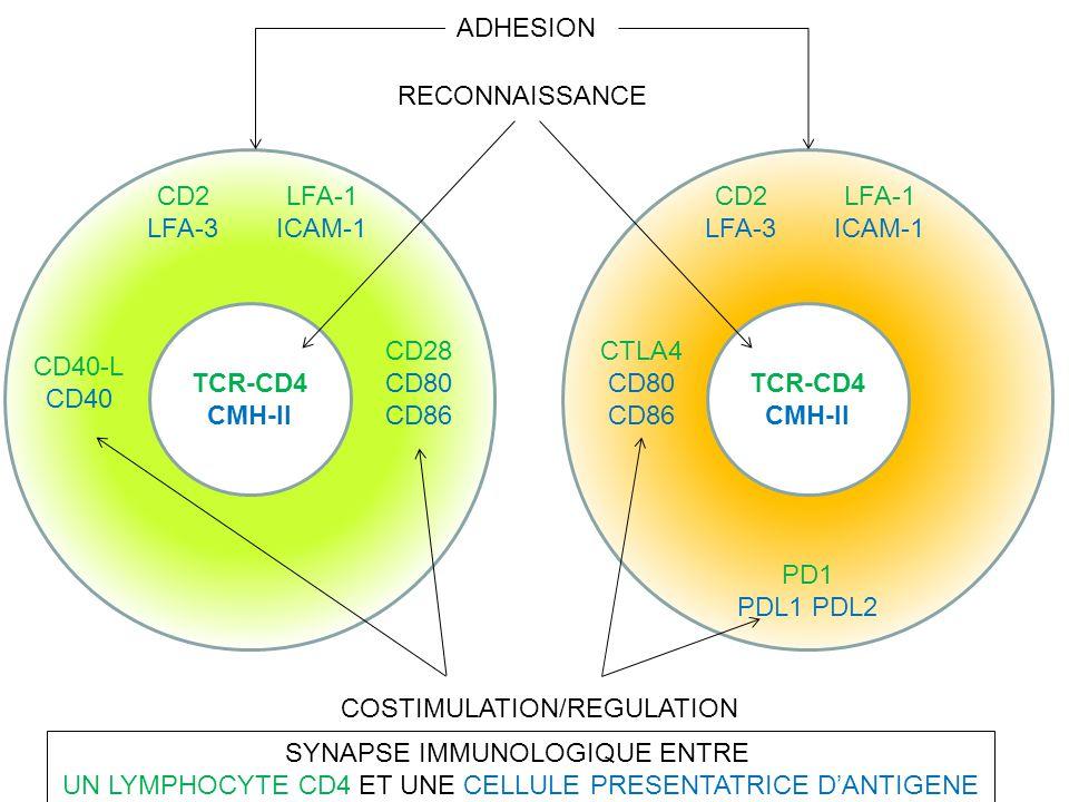 TCR-CD4 CMH-II LFA-1 ICAM-1 CD40-L CD40 CD28 CD80 CD86 CD2 LFA-3 TCR-CD4 CMH-II LFA-1 ICAM-1 CTLA4 CD80 CD86 CD2 LFA-3 PD1 PDL1 PDL2 ADHESION RECONNAI