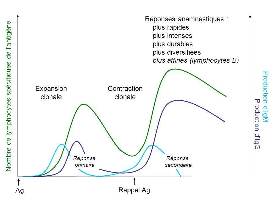 Ag Rappel Ag Nombre de lymphocytes spécifiques de lantigène Expansion clonale Contraction clonale Réponses anamnestiques : plus rapides plus intenses