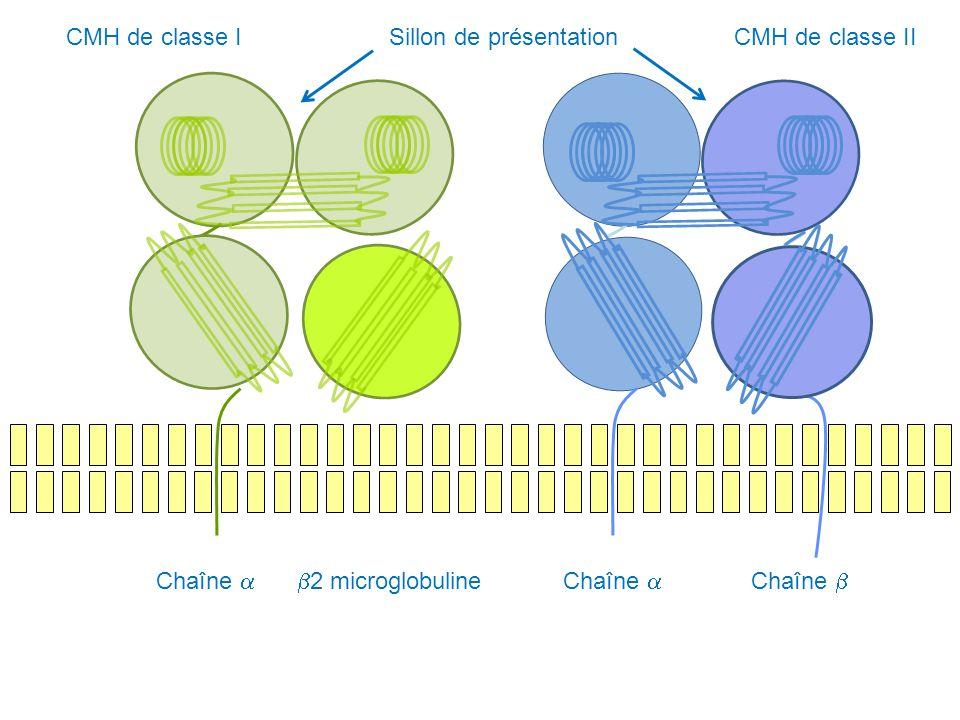 Chaîne 2 microglobulineChaîne CMH de classe ICMH de classe IISillon de présentation