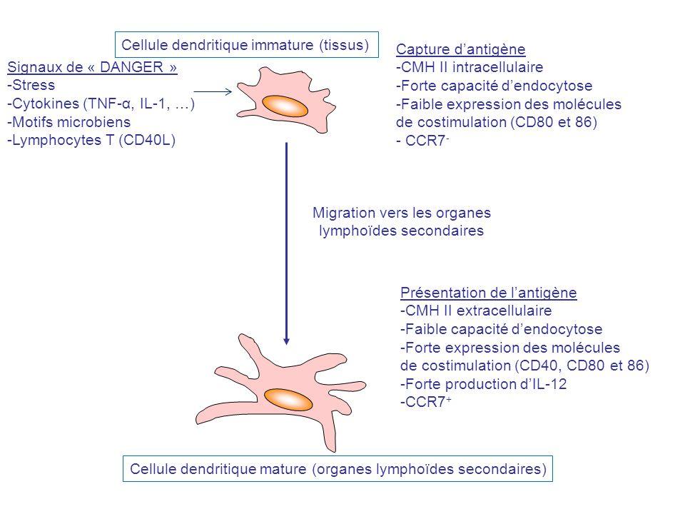 Migration vers les organes lymphoïdes secondaires Capture dantigène -CMH II intracellulaire -Forte capacité dendocytose -Faible expression des molécul