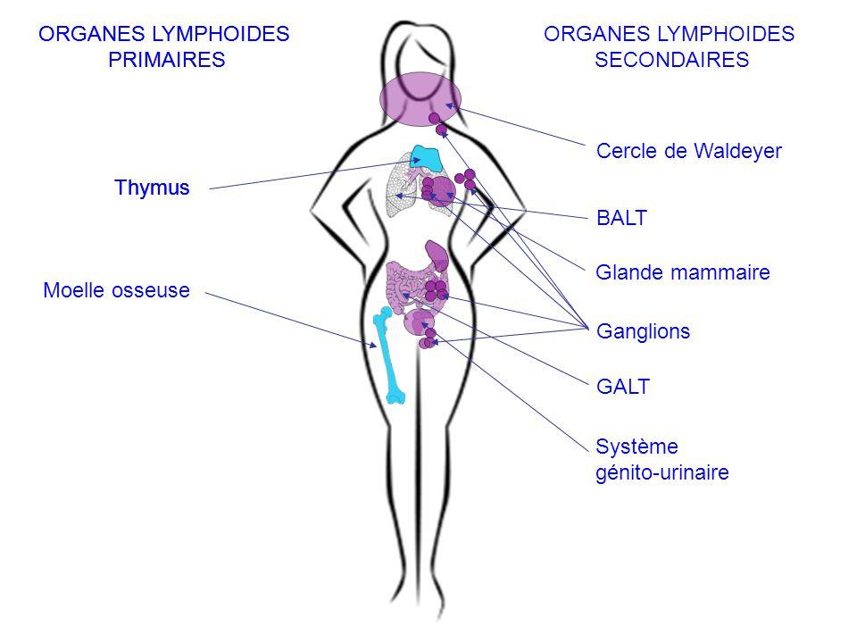 ORGANES LYMPHOIDES PRIMAIRES ORGANES LYMPHOIDES SECONDAIRES Thymus Moelle osseuse Cercle de Waldeyer Ganglions BALT GALT Système génito-urinaire Gland