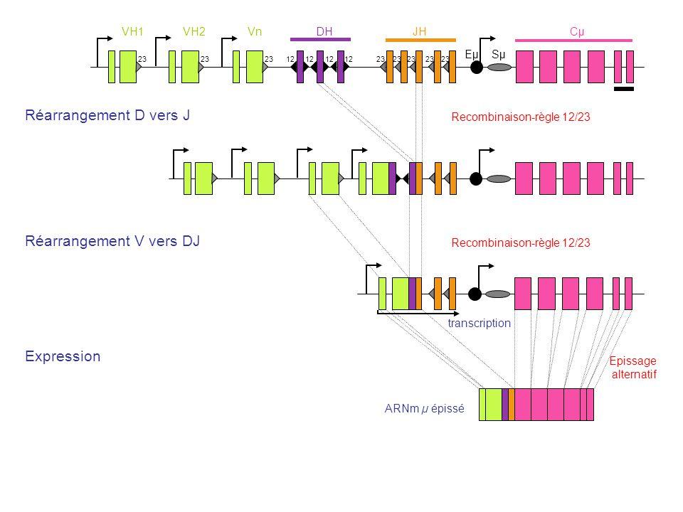 VH1VH2VnDHJHCμCμ 23 12 23 Eµ Sµ transcription ARNm µ épissé Recombinaison-règle 12/23 Epissage alternatif Expression Réarrangement V vers DJ Réarrange