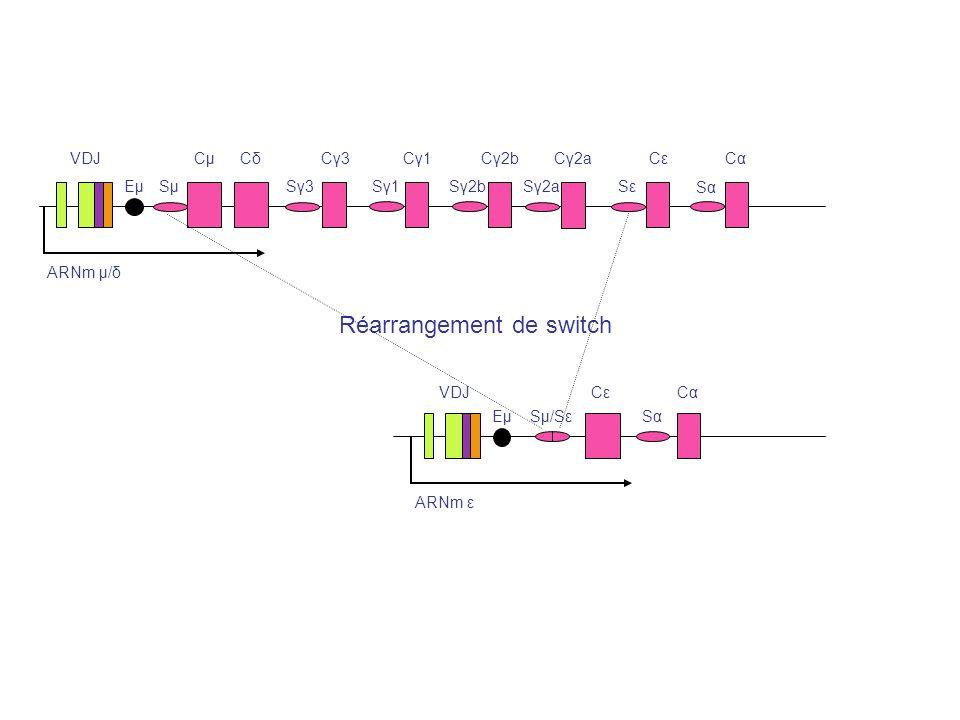 ARNm μ/δ VDJ EμEμSμSμ CμCμCδCδ Sγ3Sγ3 Cγ3Cγ3 Sγ1Sγ1 Cγ1Cγ1 Sγ2b Cγ2b Sγ2a Cγ2a SεSε CεCεCαCα SαSα ARNm ε VDJ EμEμSμ/Sε CεCε SαSα CαCα Réarrangement de