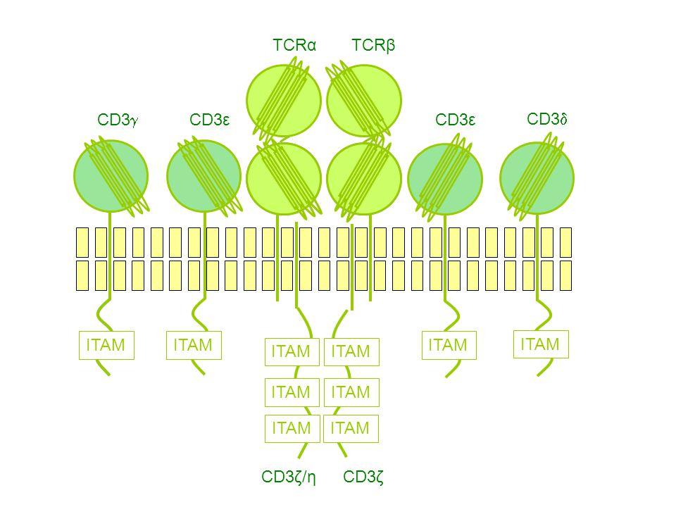 CD3 CD3ε CD3ζ/ηCD3ζ TCRαTCRβ CD3ε ITAM CD3 ITAM